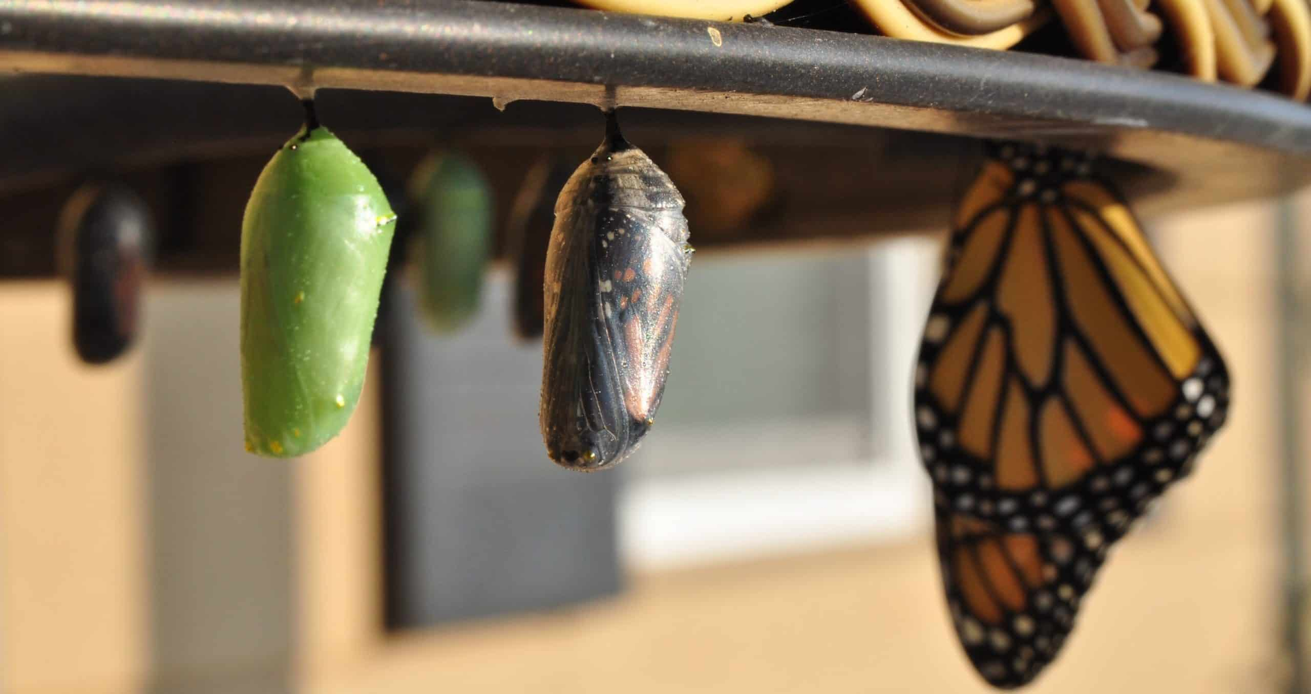 cocoon butterfly